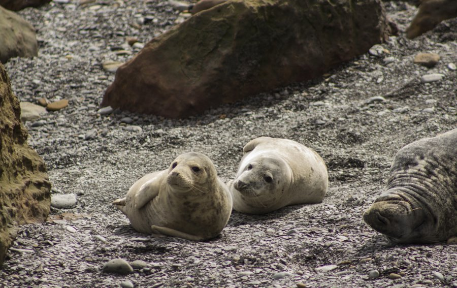 Seals at Ravenscar, North Yorkshire by L.Hardwick Photography